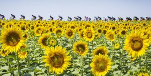 TDF2015-Stage13-sunflowers